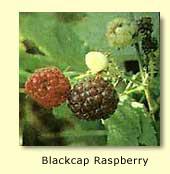Black Raspberry