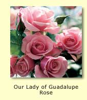Our Lady of Guadalupe Rose
