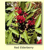 Red Elderberry