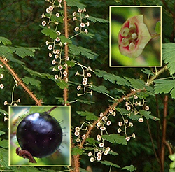 Black Gooseberry