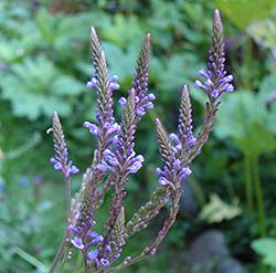 Blue Vervain Flowers