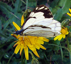 Dandelion Flower With Pine White Butterfly
