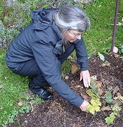 Diana Planting Goldenseal