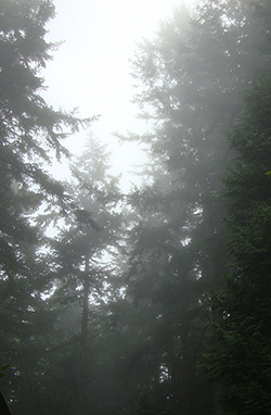 Foggy day in the Pacific Northwest forest