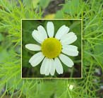 Chamomile (German)