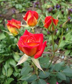 Hot Tamale Rose Flowers