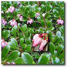 Kinnikinnik Flower Essence