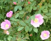 Nootka Wild Rose