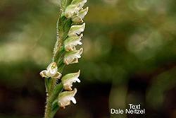 Rattlesnake Plantain Orchid Flower