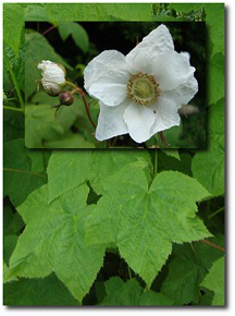 Thimbleberry Flower Essence