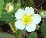 Woodland Strawberry