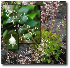 Alumroot Flower Essence