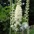 Black Cohosh Flower Essence