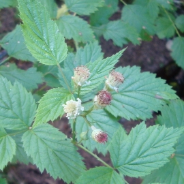 Blackcap Raspberry Flower Essence