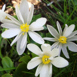 Bloodroot Flower Essence