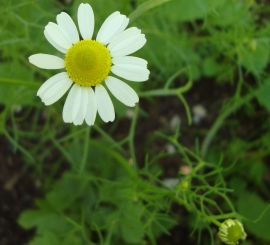 Chamomile (German) Flower Essence