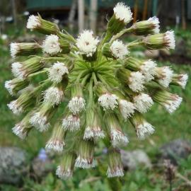 Coltsfoot Flower Essence