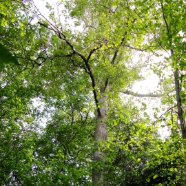 Cottonwood Tree Essence