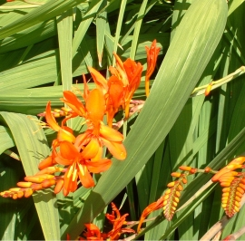 Crocosmia Flower Essence
