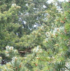 Douglas Fir Tree Essence