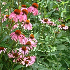 Echinacea Flower Essence