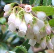 Evergreen Huckleberry Flower Essence