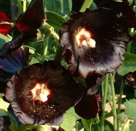 Garnet Hollyhock Flower Essence