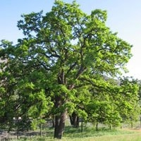 Garry Oak Tree Essence