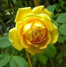 Golden Celebration Rose Flower Essence