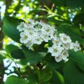 Hawthorn Tree Essence
