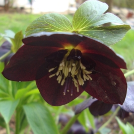 Black Hellebore Flower Essence