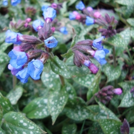 Lungwort Flower Essence