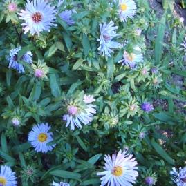 Michaelmas Daisy Flower Essence