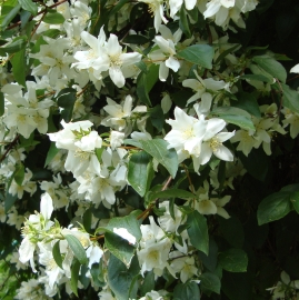 Mock Orange Flower Essence