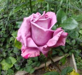 Moon Shadow Rose Flower Essence