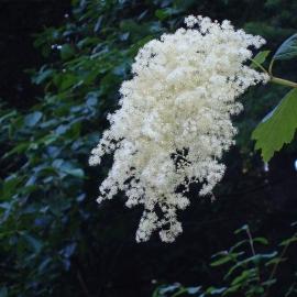 Oceanspray Flower Essence
