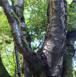 Paper Birch Tree Essence