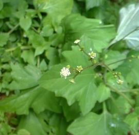Pathfinder Flower Essence