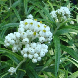 Pearly Everlasting Flower Essence