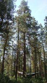 Ponderosa Pine Tree Essence