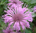 Purple Monarda Flower Essence