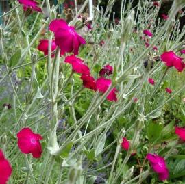 Rose Campion Flower Essence