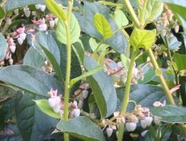 Salal Flower Essence