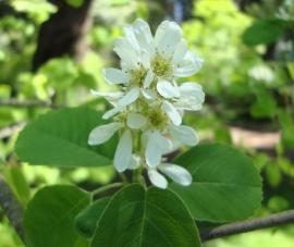 Saskatoon Flower Essence