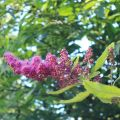 Spirea Flower Essence