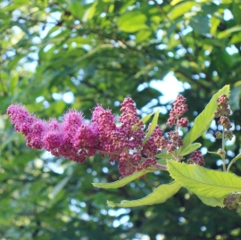 Spirea Flower Essence