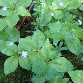 Starflower Flower Essence