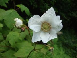 Thimbleberry Flower Essence
