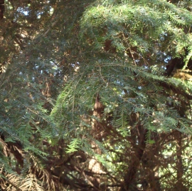 Western Hemlock Tree Essence