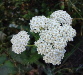 White Yarrow Flower Essence